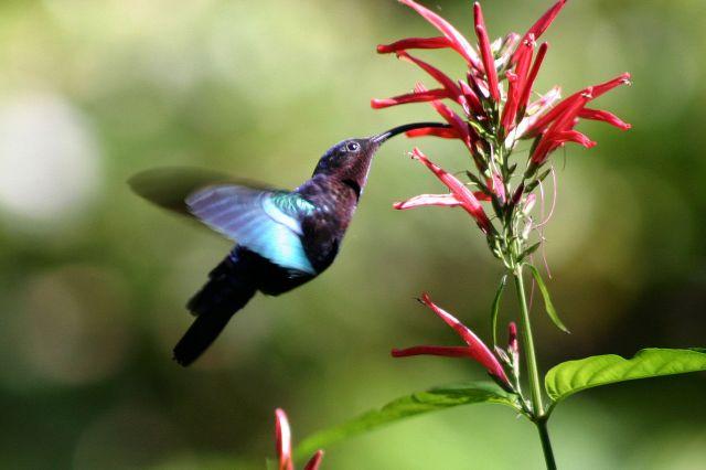 HummingbirdPurple-throated, 2010, Charles J. Sharp